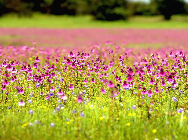 Flowers at Kaas Plateau